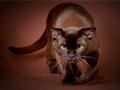 Brown mèo