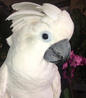 Cockatoo🌹