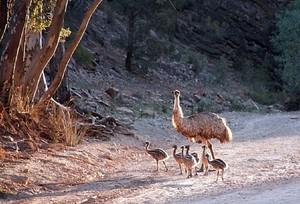 Emu Dad With Chicks