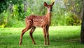 Fawn - animals wallpaper