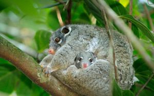 Female green ringtail possum with a joey in her pouch Queensland Australia