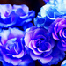 Flowers - yorkshire_rose icon