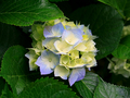 Hydrangeas - alice-in-wonderland photo