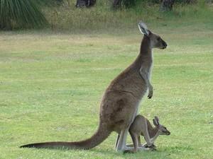 kangourou with Joey