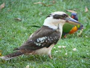 Kookabara with 2 Ranbow Lorikeets