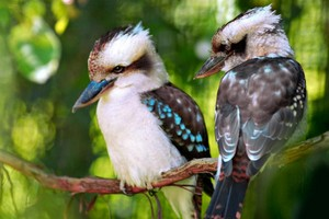 Kookaburas