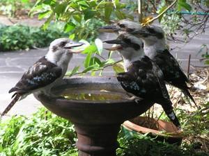 Kookaburras Meeting Place