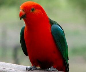 MALE KING papegaai