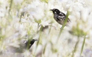 New Holland honeyeaters in Melbourne Australia