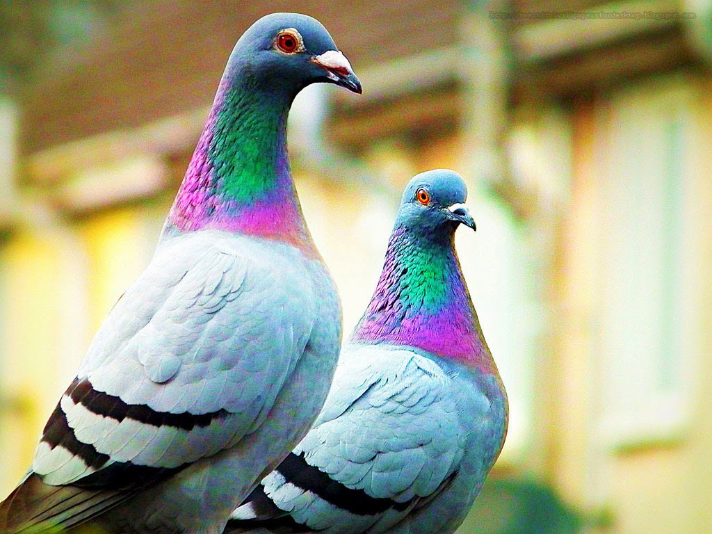 pigeons images pigeons hd wallpaper and background photos (41211472)