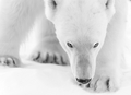 Polar Bear - animals wallpaper