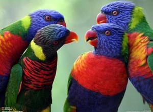 pelangi, rainbow Lorikeets