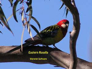 eastern rosella