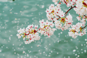 cherry blossom❤