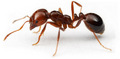 Fire Ant - pipcool2 photo