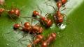 Fire Ants Leaf - pipcool2 photo