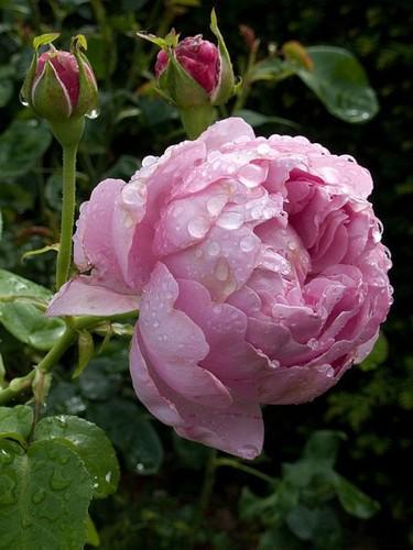 rosa blanca de york fondo de pantalla titled For My Beautiful Fairy Sister