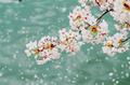 I love cherry blossoms🌺 - gdragon-sunny-cat photo