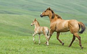 Mare and बछेड़ा, फोल running across pasture in Alberta Canada