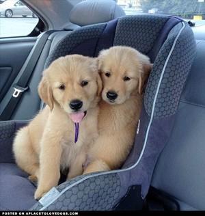 adorable golden retriever cachorrinhos