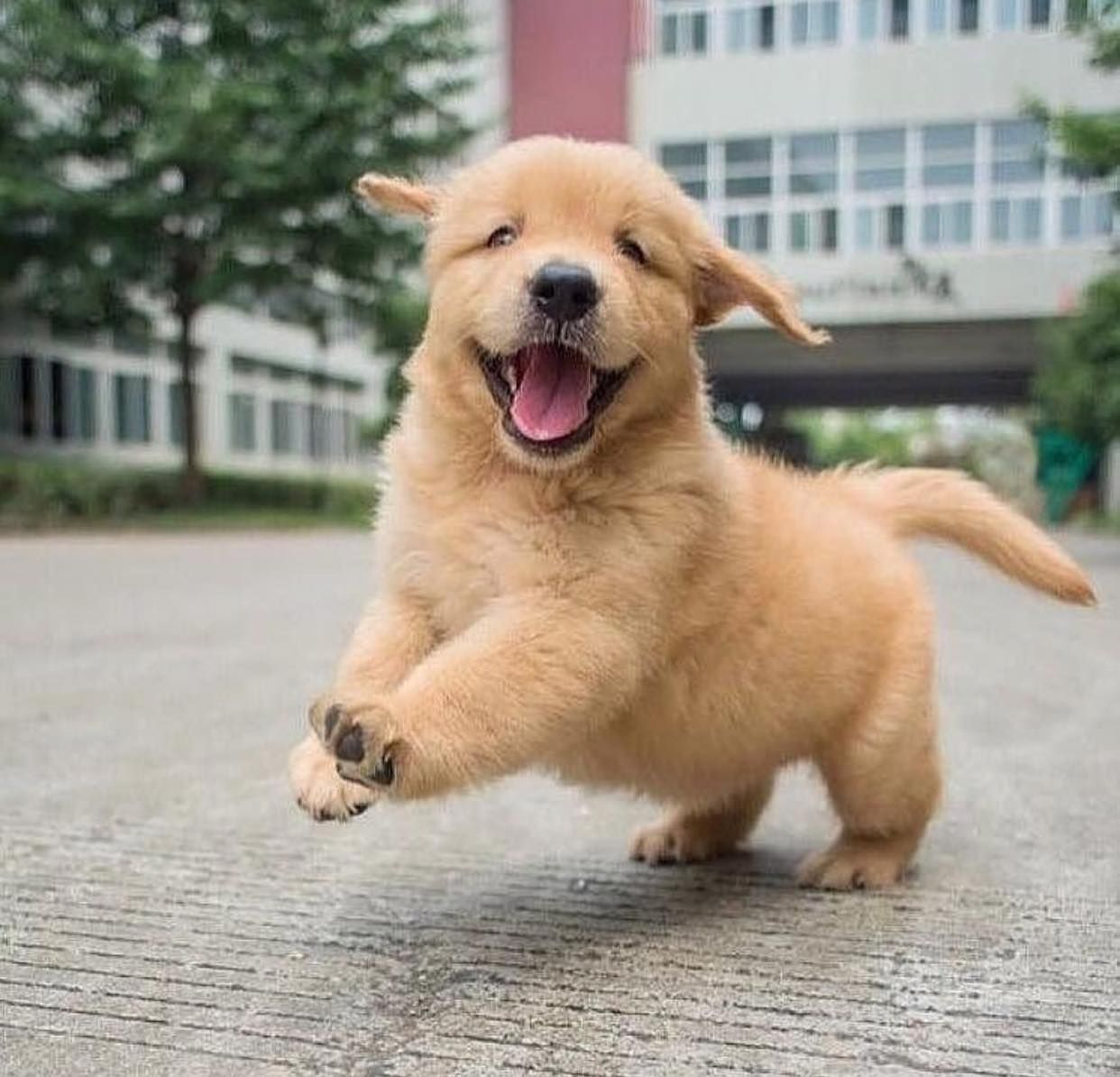 Golden Retreivers Bilder Adorable Golden Retriever Welpen Hd