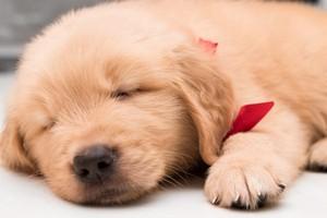 adorable golden retriever 강아지