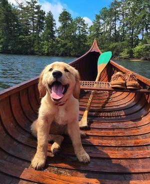 adorable golden retriever 子犬