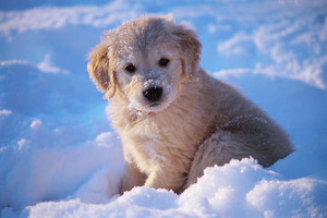 adorable golden retriever Щенки