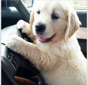 adorable golden retriever Anak Anjing