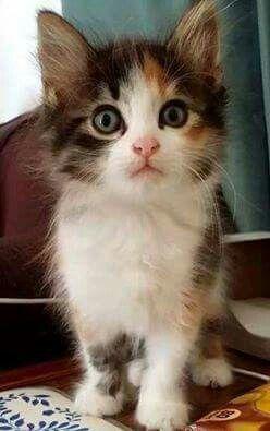 cute,adorable munchkin mèo con
