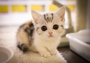 cute,adorable munchkin chatons
