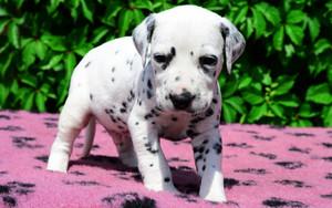 cute dalmatian mtoto wa mbwa