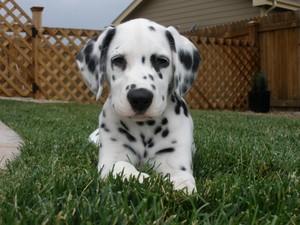 cute dalmatian chiots