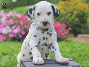 cute dalmatian cachorrinhos