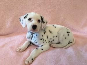 cute dalmatian chó con