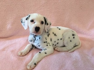 Cute Puppies Images Cute Dalmatian Puppies Wallpaper And Background