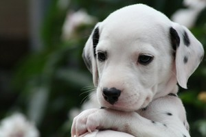 cute dalmatian puppies