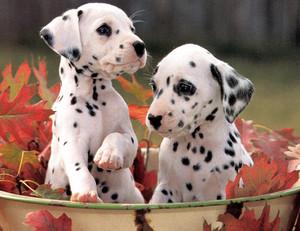 cute dalmatian puppies