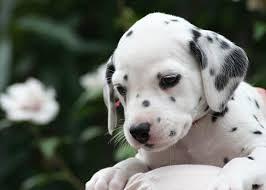 cute dalmatian 子犬