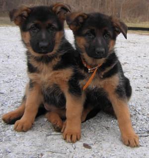 cute german shepard puppies