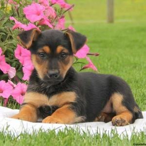 cute german shepard chó con