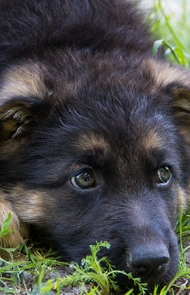 cute german shepard puppies