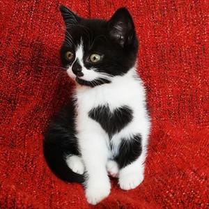 cute tuxedo 子猫