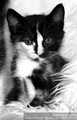 cute tuxedo kittens - cute-kittens photo