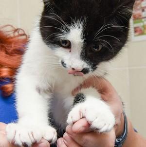 cute tuxedo kittens