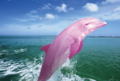 rare pink dolphins