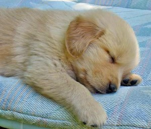 sleeping golden retriever Щенки