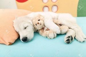 sleeping golden retriever Cuccioli