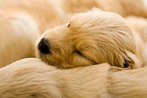sleeping golden retriever chó con