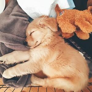 sleeping golden retriever chiots